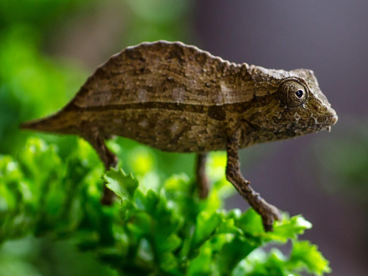 Otra de las especies de camaleón.