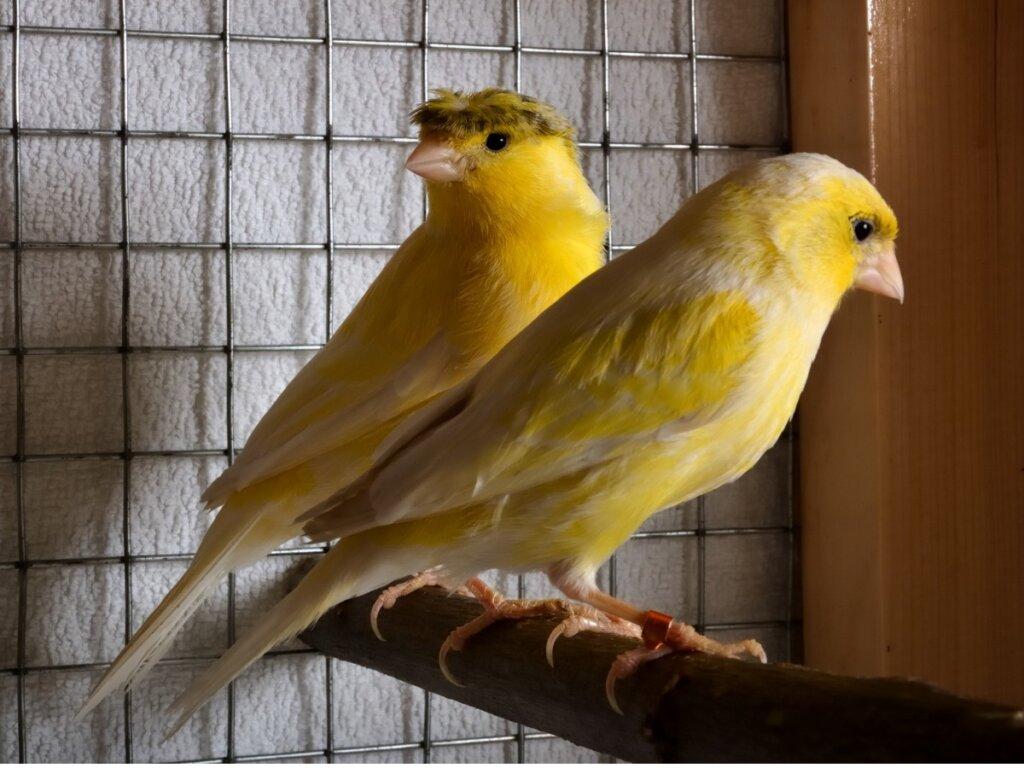 Mi canario ha dejado de cantar: causas y soluciones