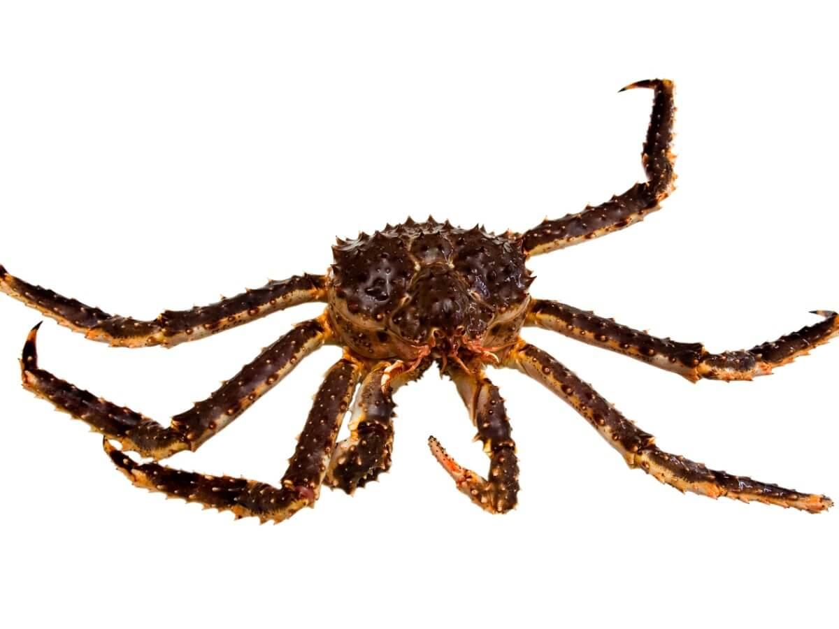 L'un des crabes de la mer de Béring sur fond blanc.