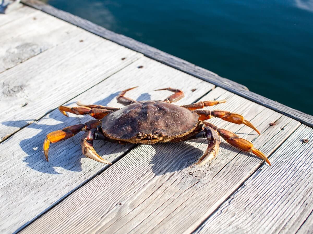 L'un des crabes de la mer de Béring.