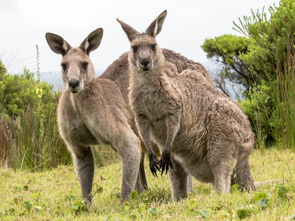 Uno de los tipos de marsupiales.
