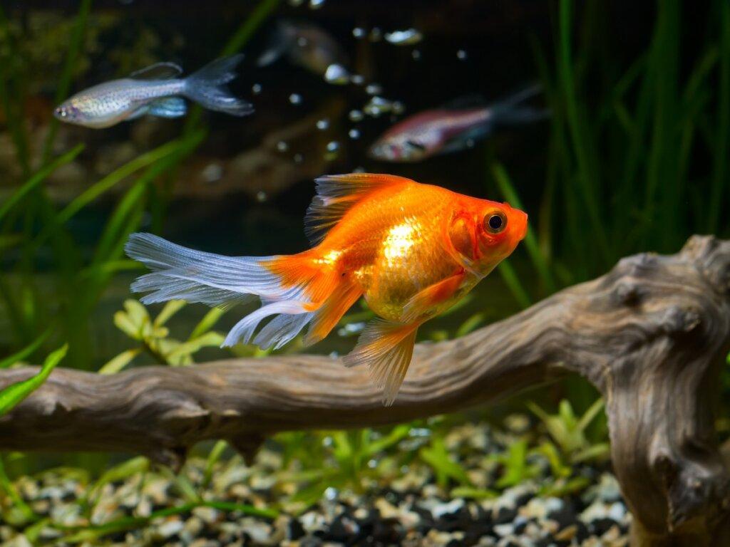 10 curiosidades del pez dorado