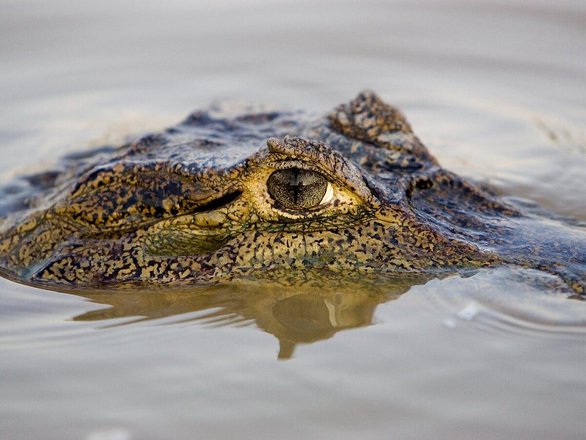 Un cocodrilo sacando los ojos.