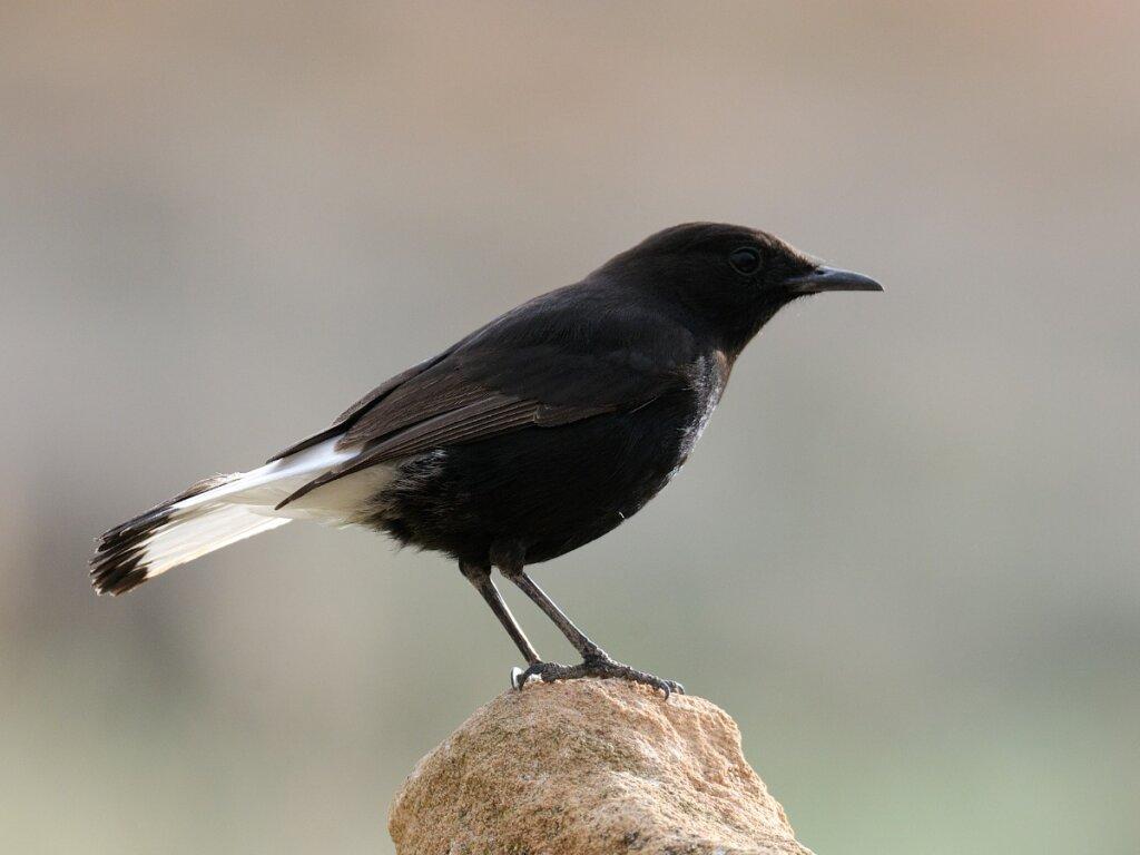Collalba negra: hábitat y características