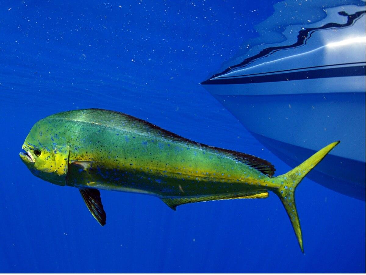 Le coriphène figure parmi les animaux les plus rapides au monde