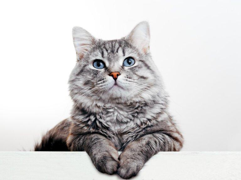 Infertilidad en gatas: causas, diagnóstico y tratamiento