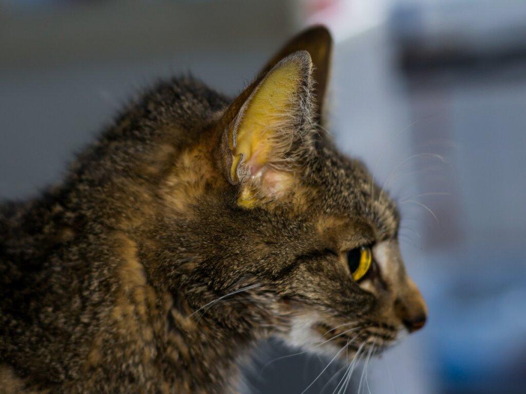 Ictericia en gatos: síntomas, causas y tratamientos