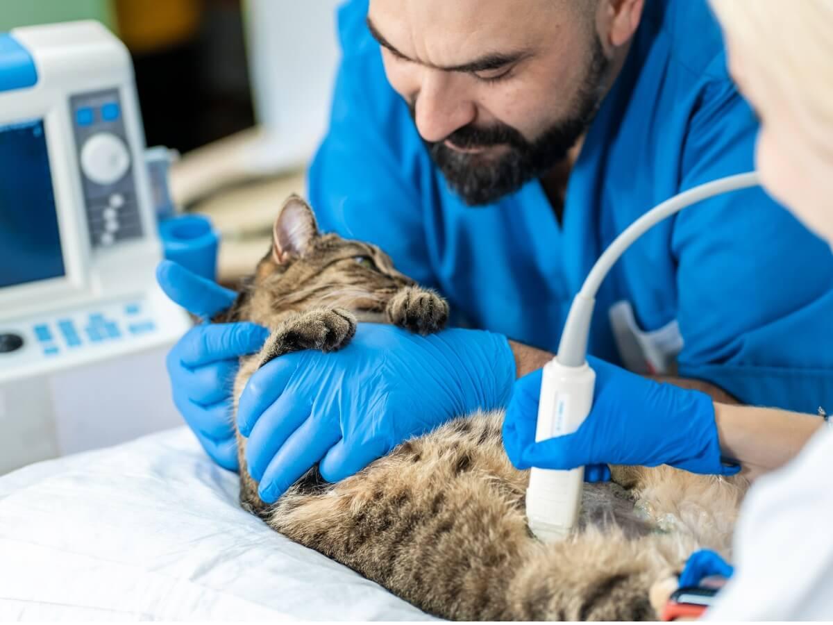 Un gatto con ascite dal veterinario.