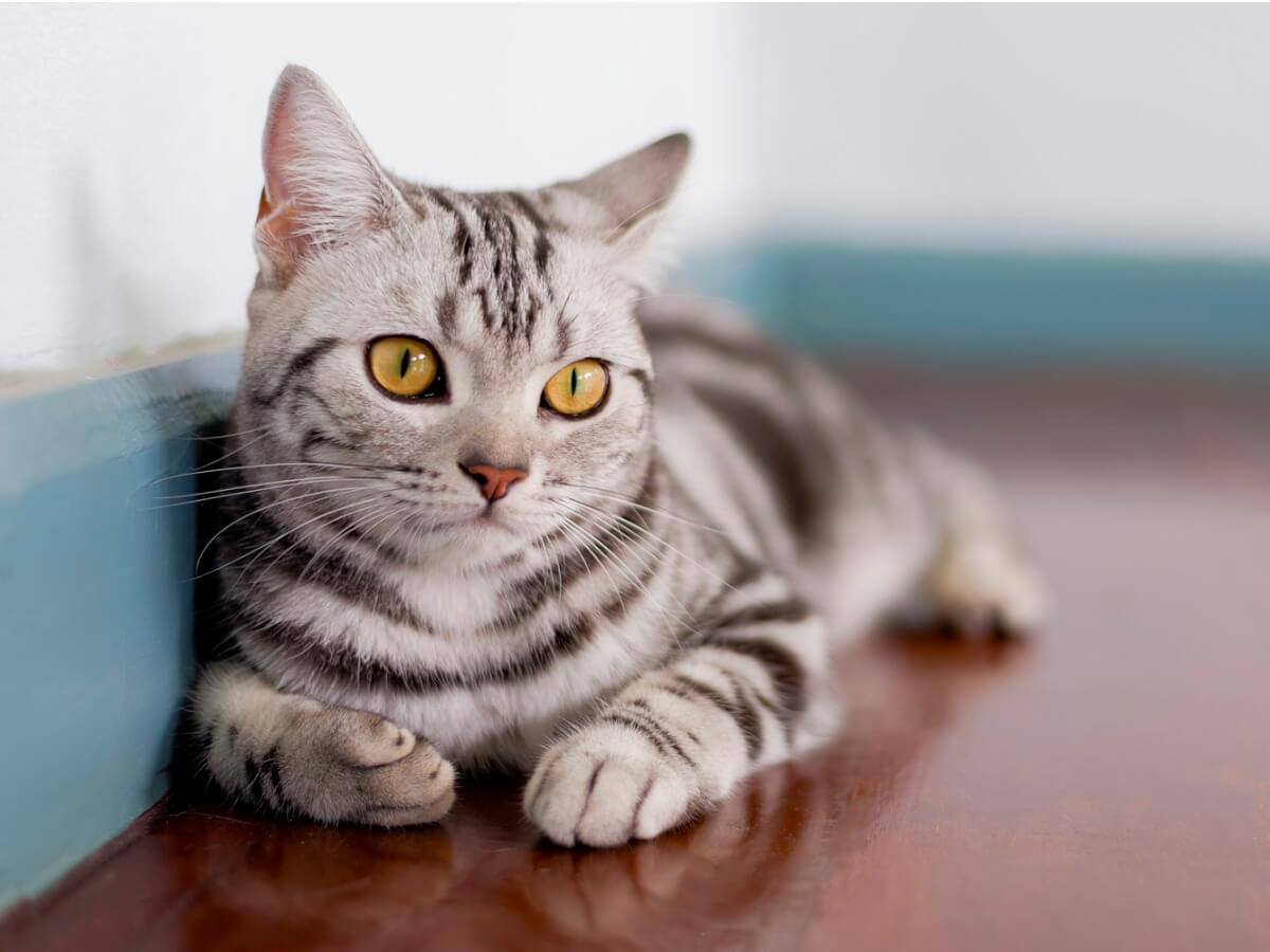Un gato atigrado american shorthair.