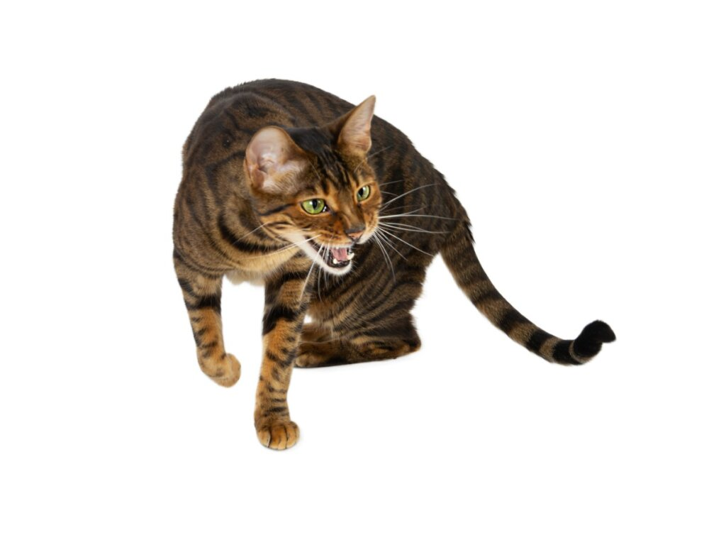 10 razas de gatos atigrados