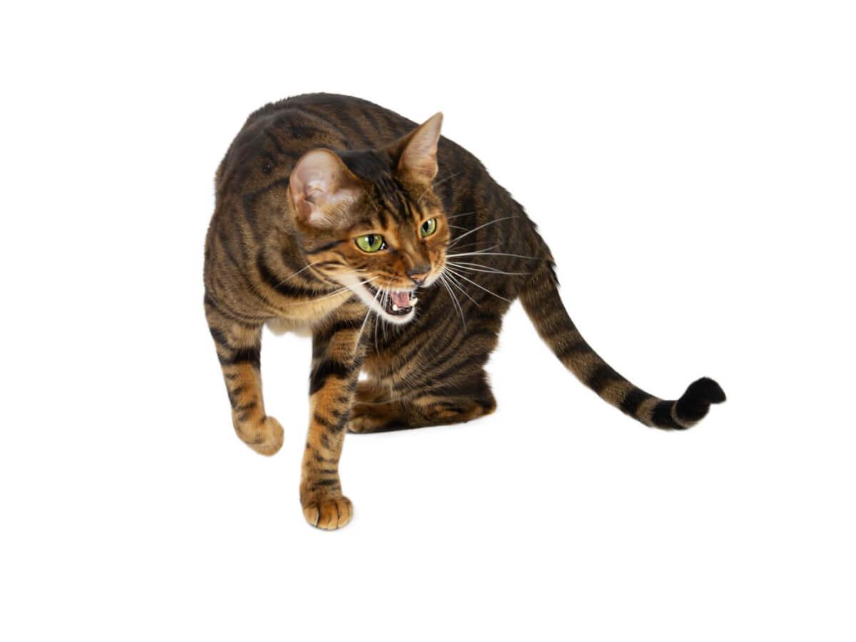 Que faire si votre chat miaule beaucoup ?
