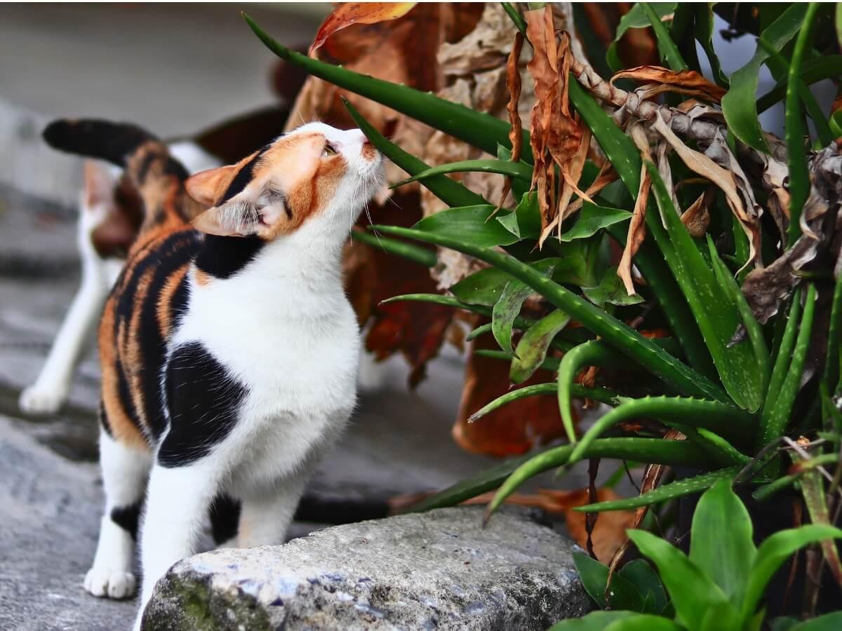 A cat smells aloe vera.