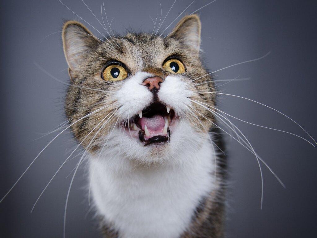 Mi gato maúlla mucho: 7 causas y soluciones