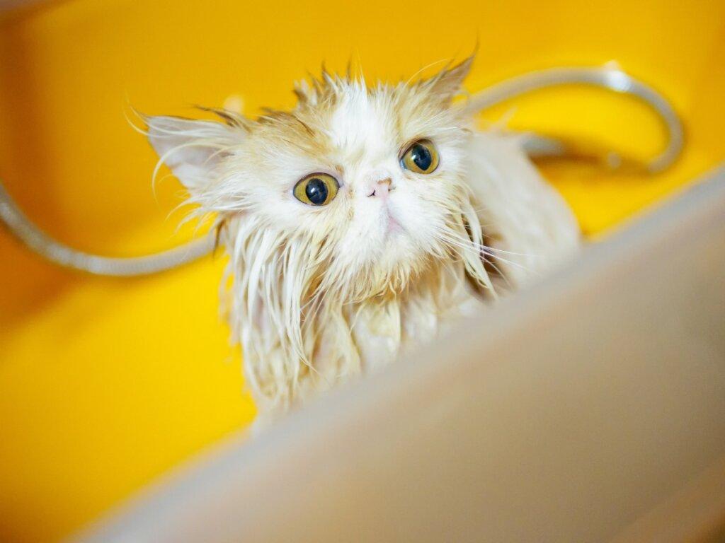 6 pasos para bañar un gato persa