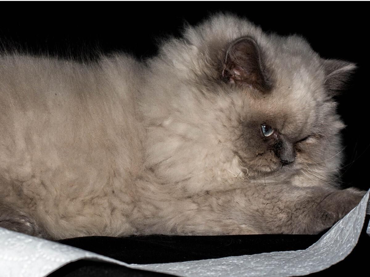 Un gatto persiano himalayano.