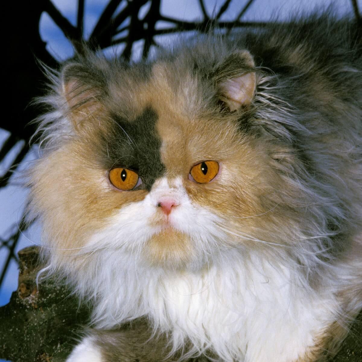 Un altro tipo di gatto persiano.