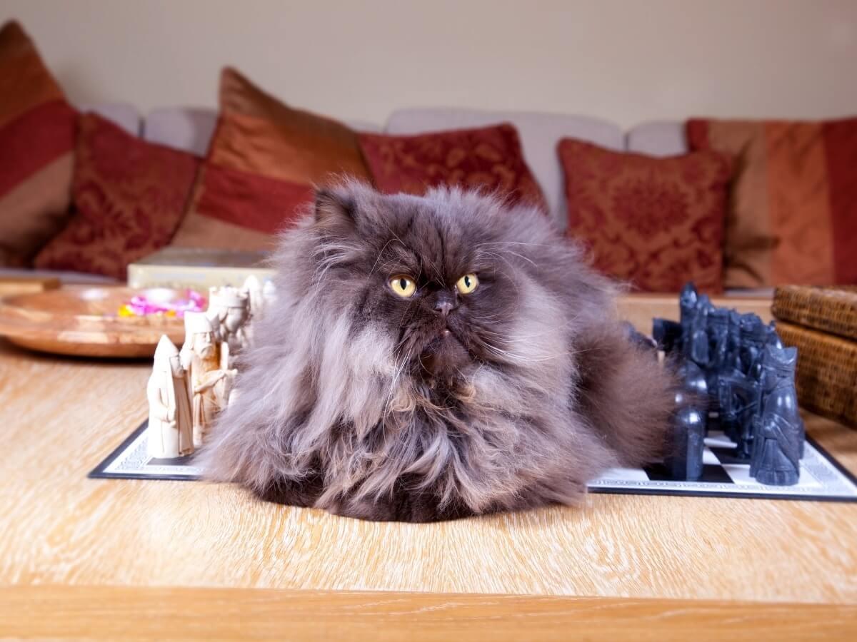 Un gatto persiano del tipo fumo.