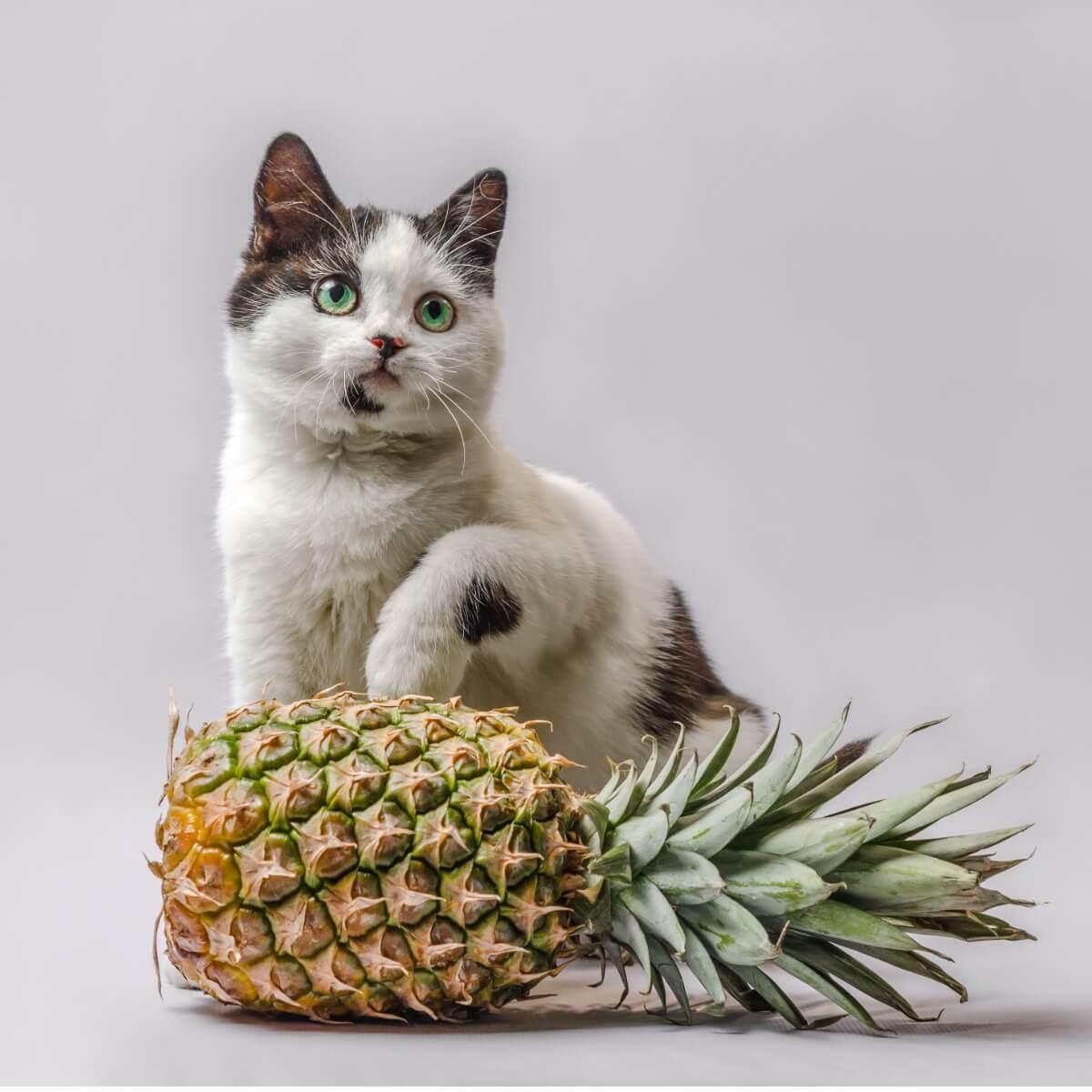 ¿Los gatos pueden comer piña?