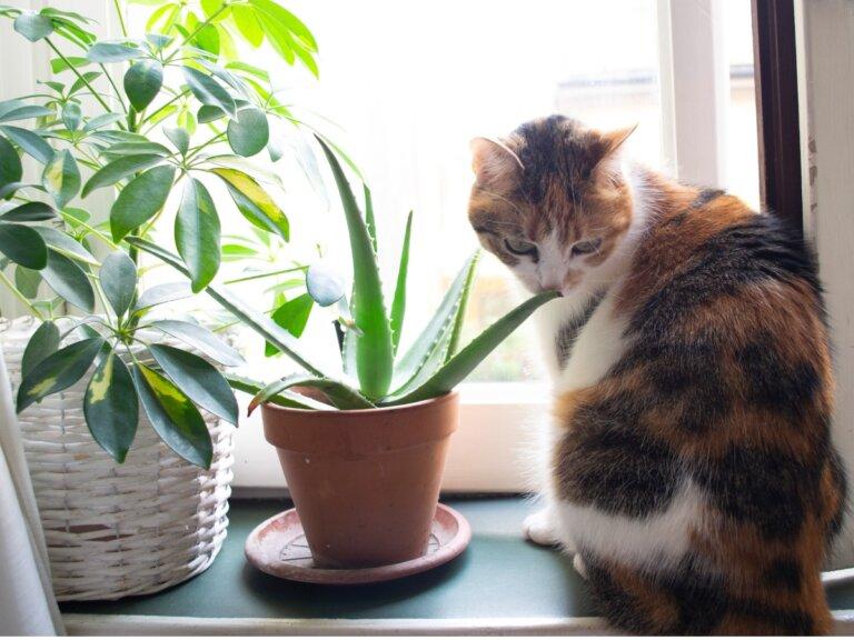 Aloe vera para gatos: usos y beneficios