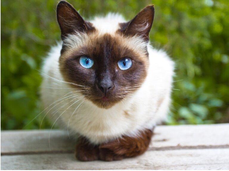 Cuidados de gatos siameses