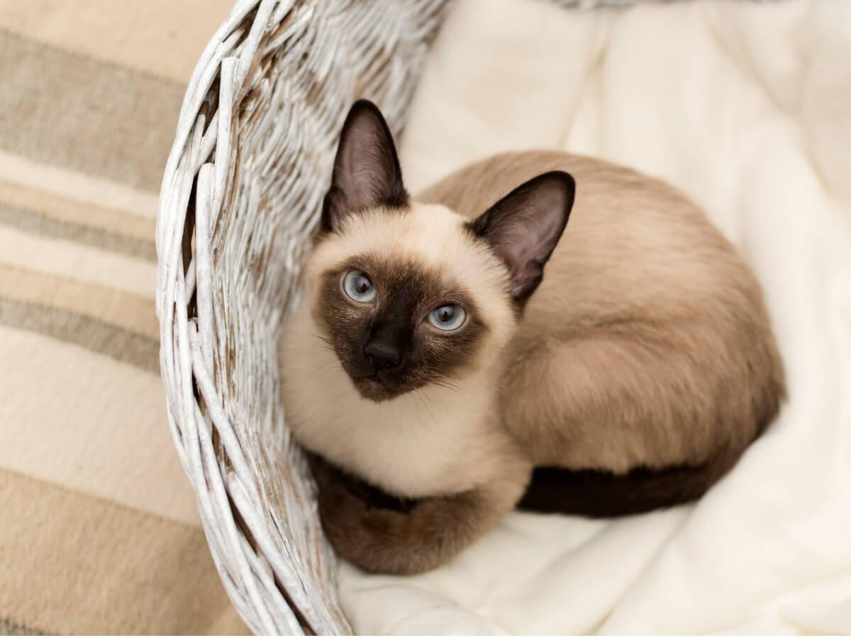 Une des races de chats les plus délicates.