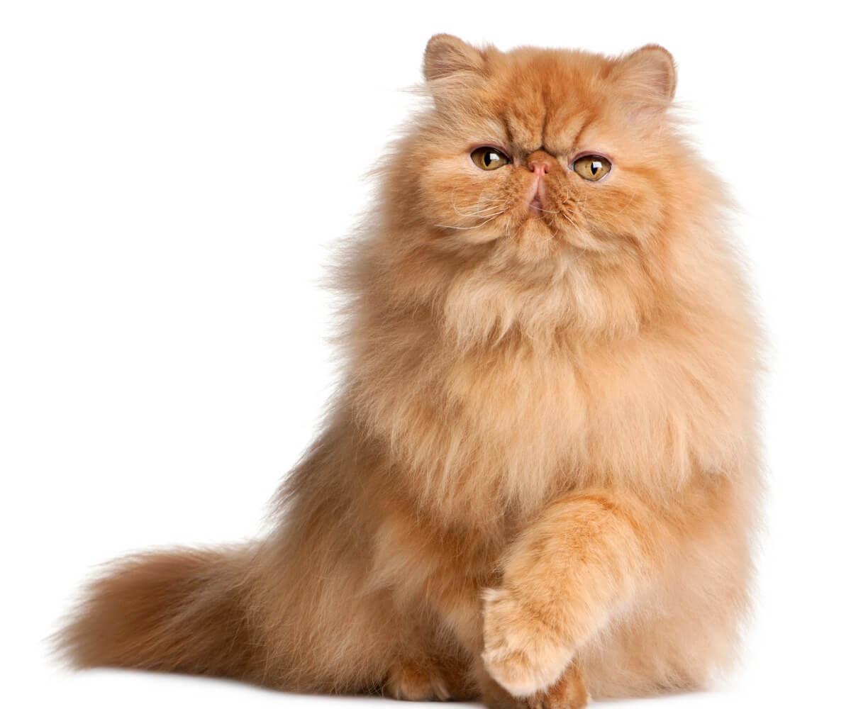 L'un des types de chat persan.