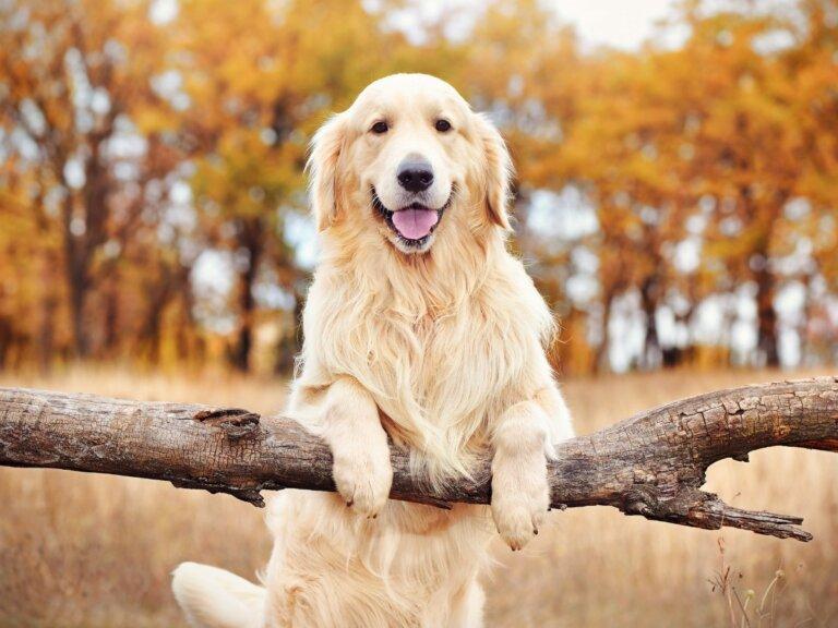 6 diferencias entre labrador y golden retriever