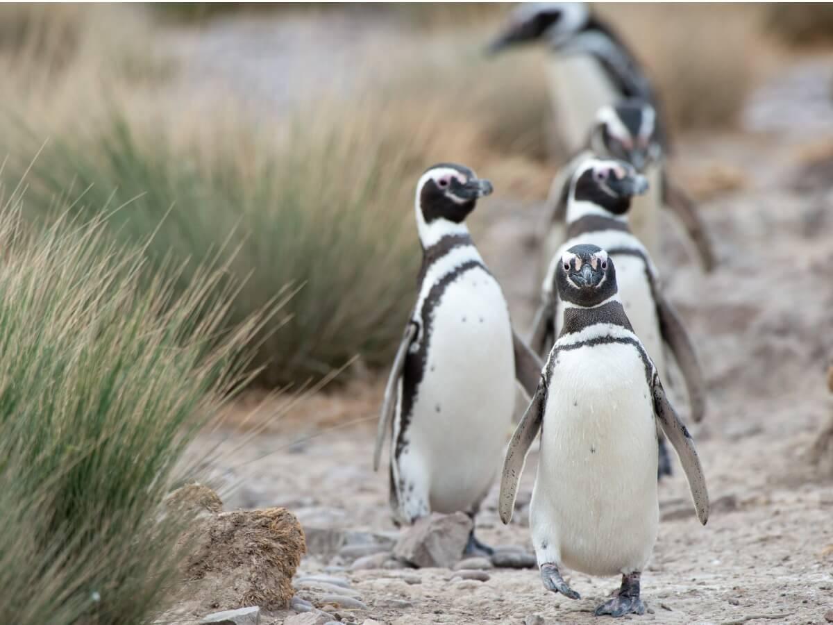 Un groupe de pingouins.