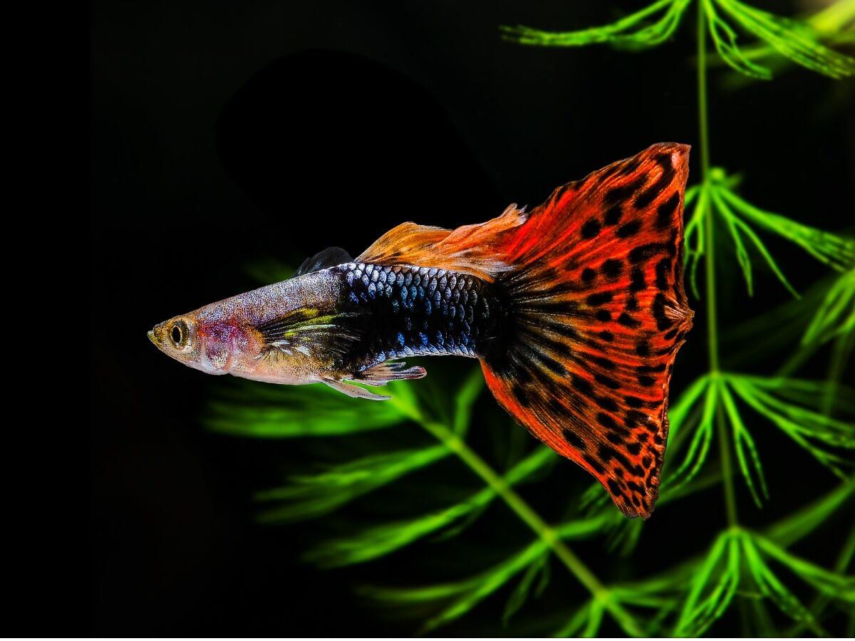 Le guppy est l'un des meilleurs poissons pour les débutants.
