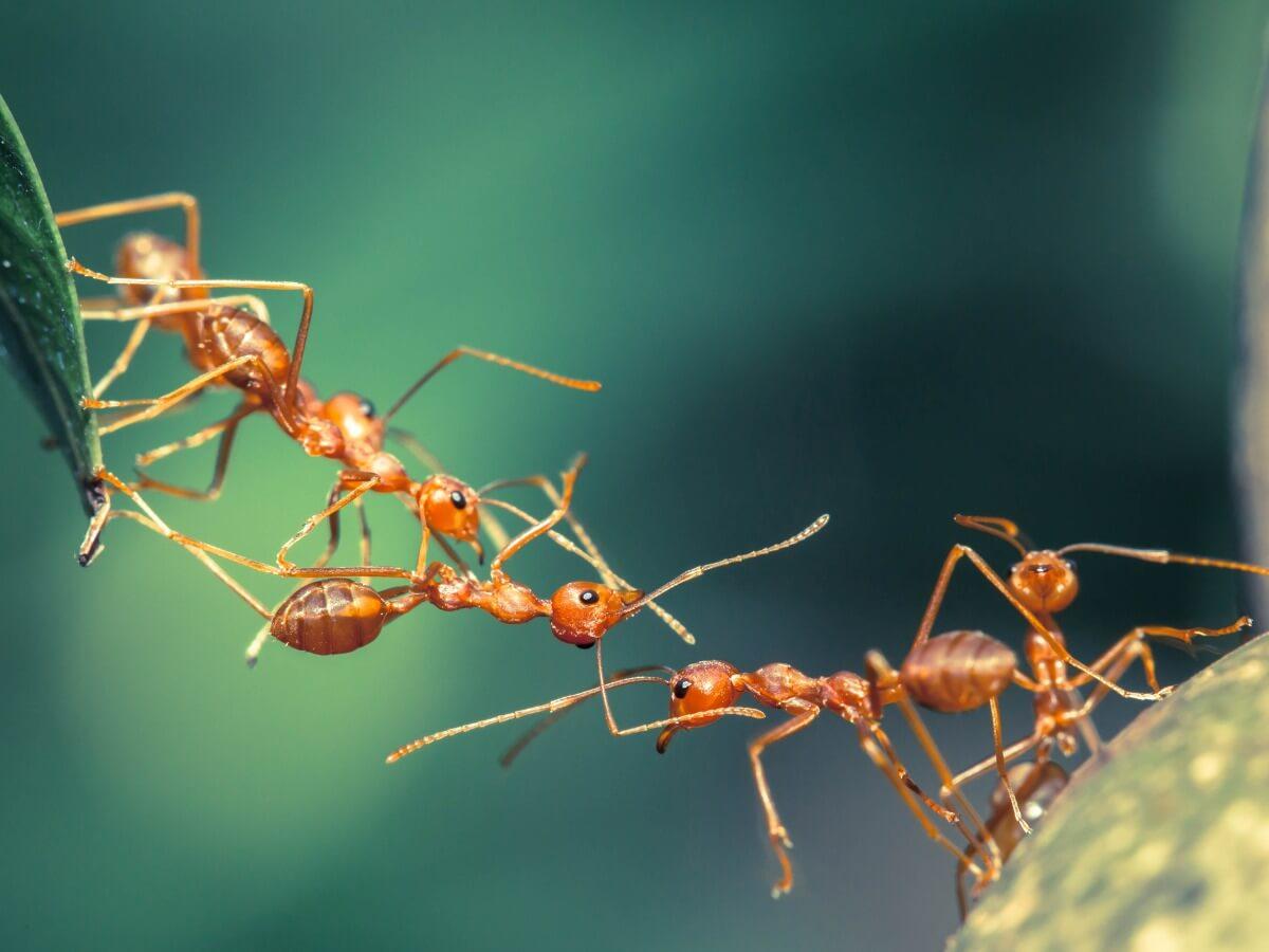¿Conoces curiosidades de las hormigas?