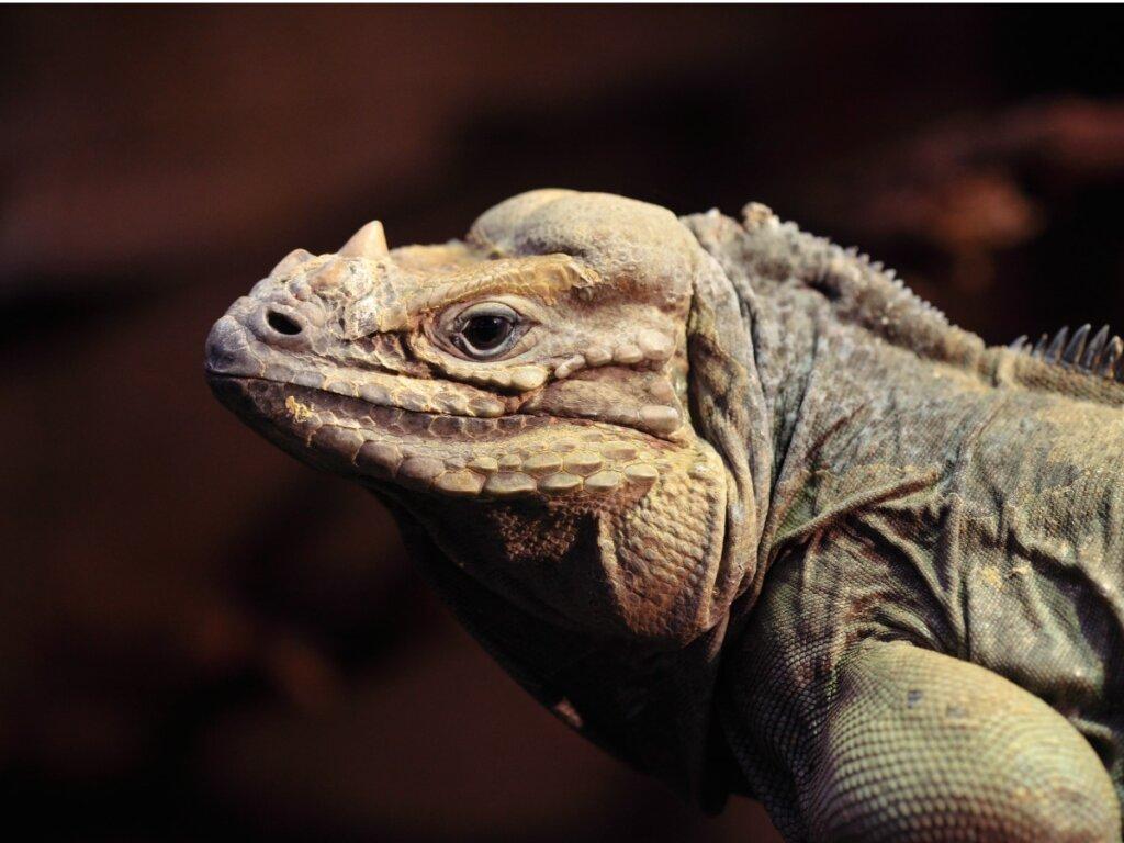 Iguana cornuda: hábitat, características y conservación