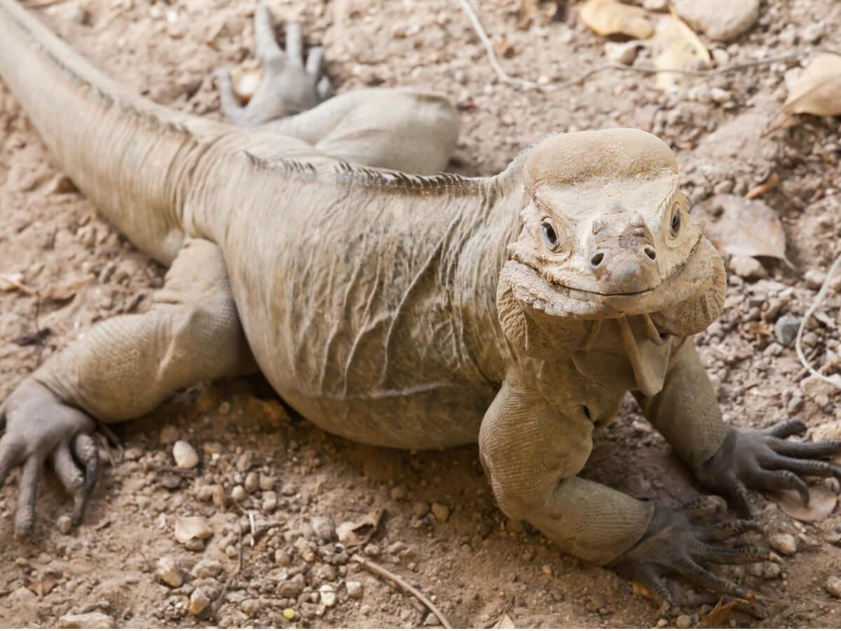 Una iguana cornuda de cuerpo entero.