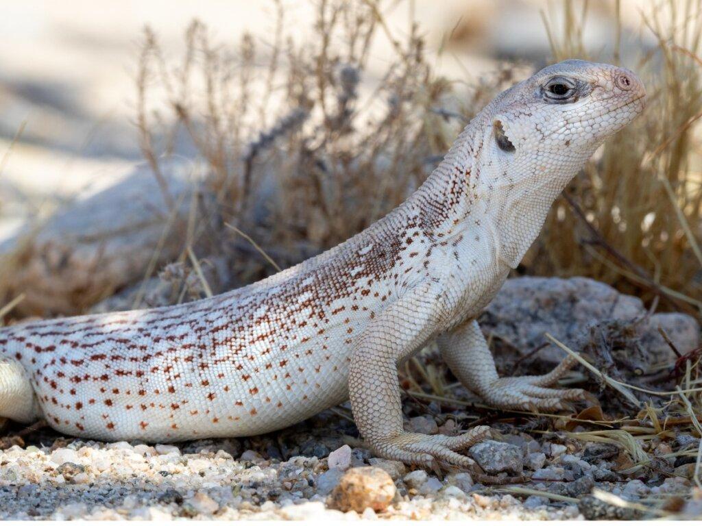 Iguana del desierto: hábitat y características