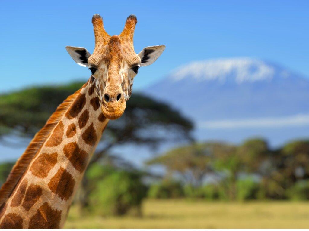 Comportamiento de las jirafas