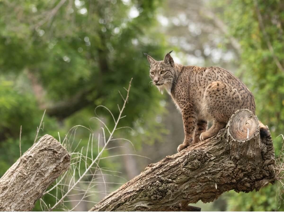 An Iberian lynx on a log.