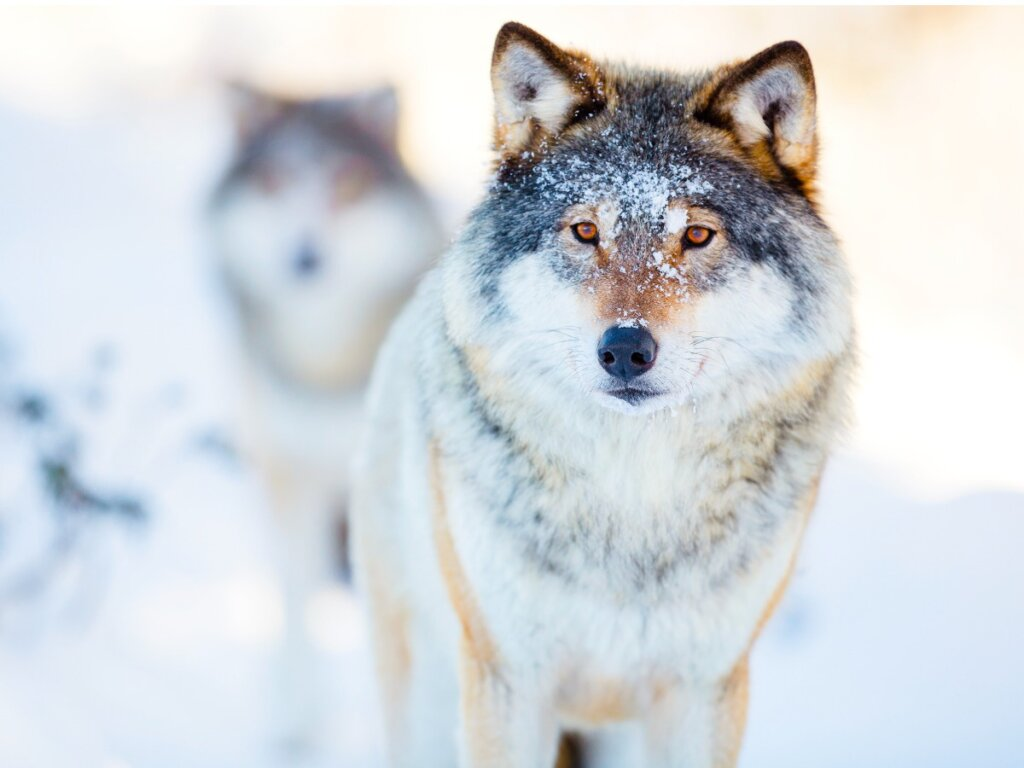 Comportamiento de los lobos