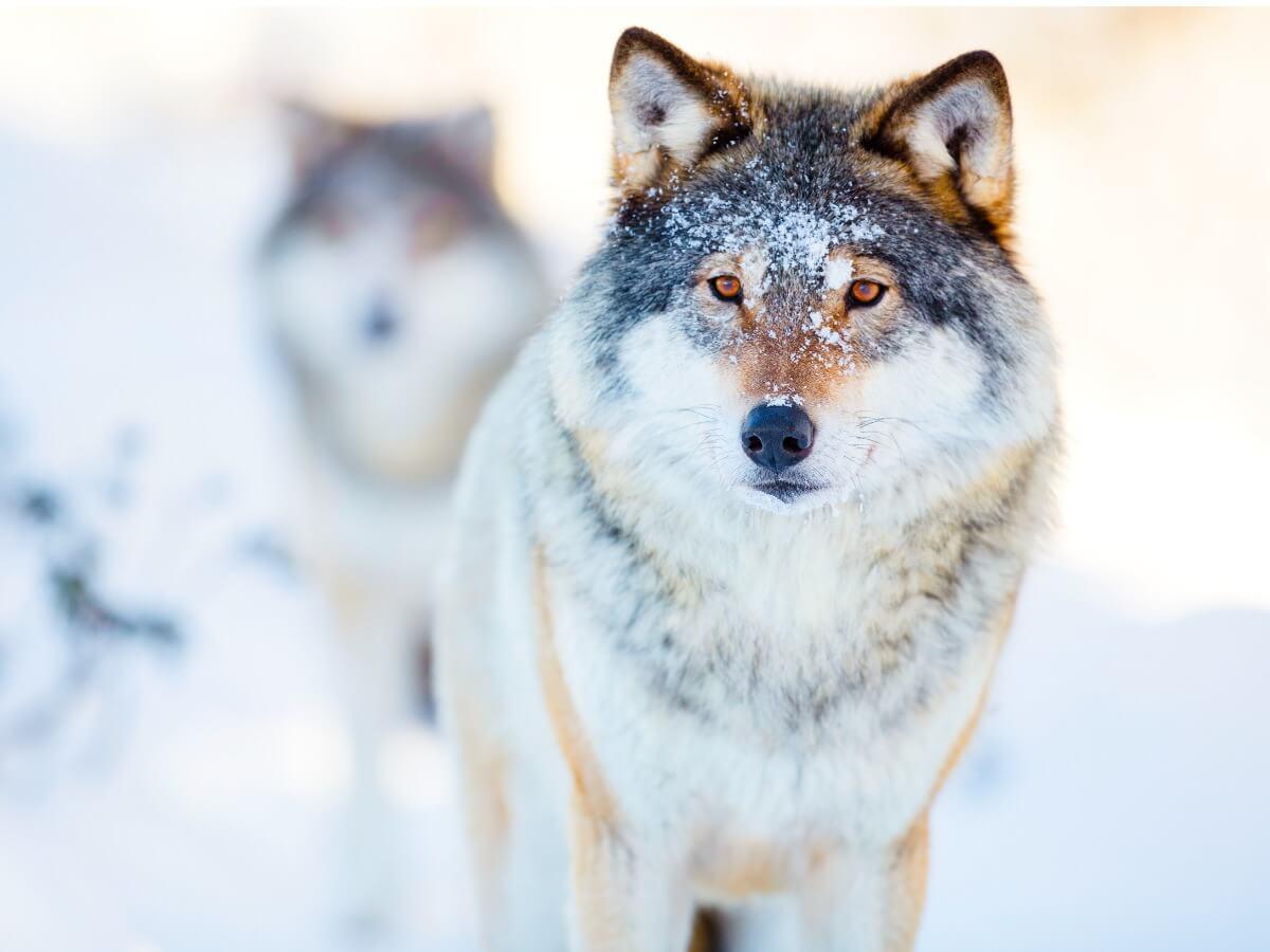 Alcuni lupi nella neve.