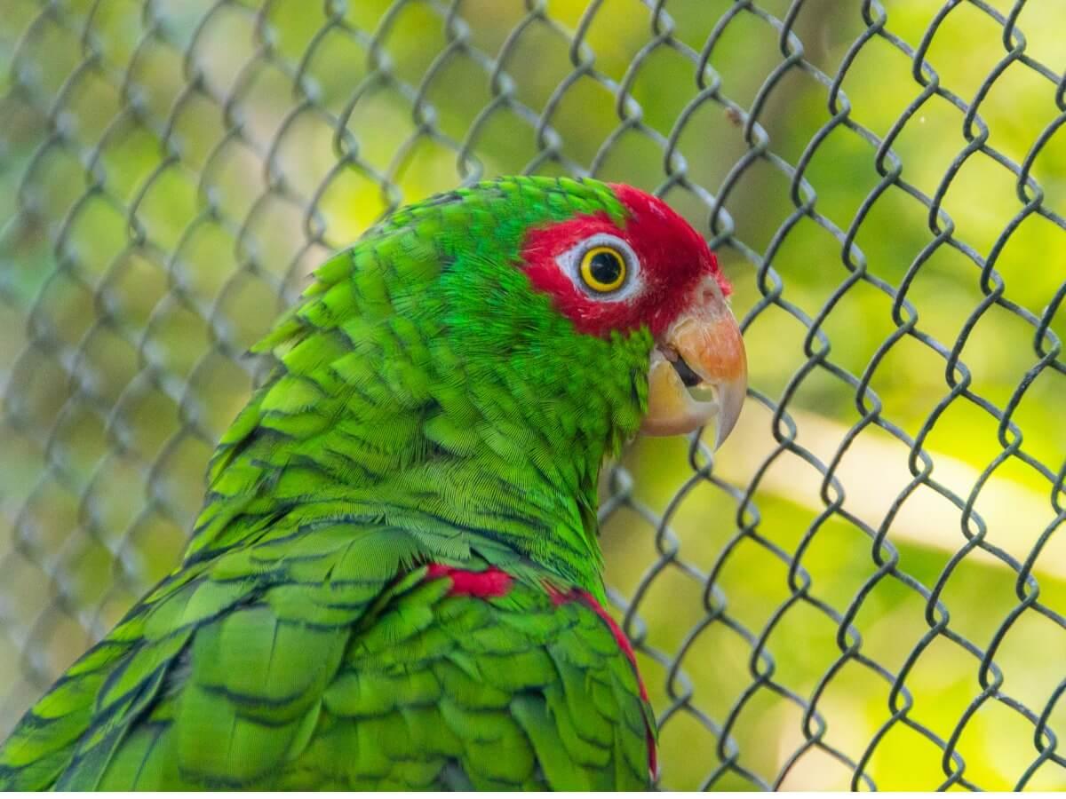 Um papagaio vinoso.
