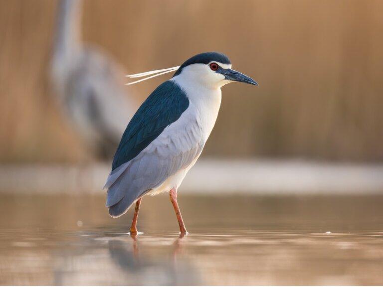 Martinete común: hábitat y características