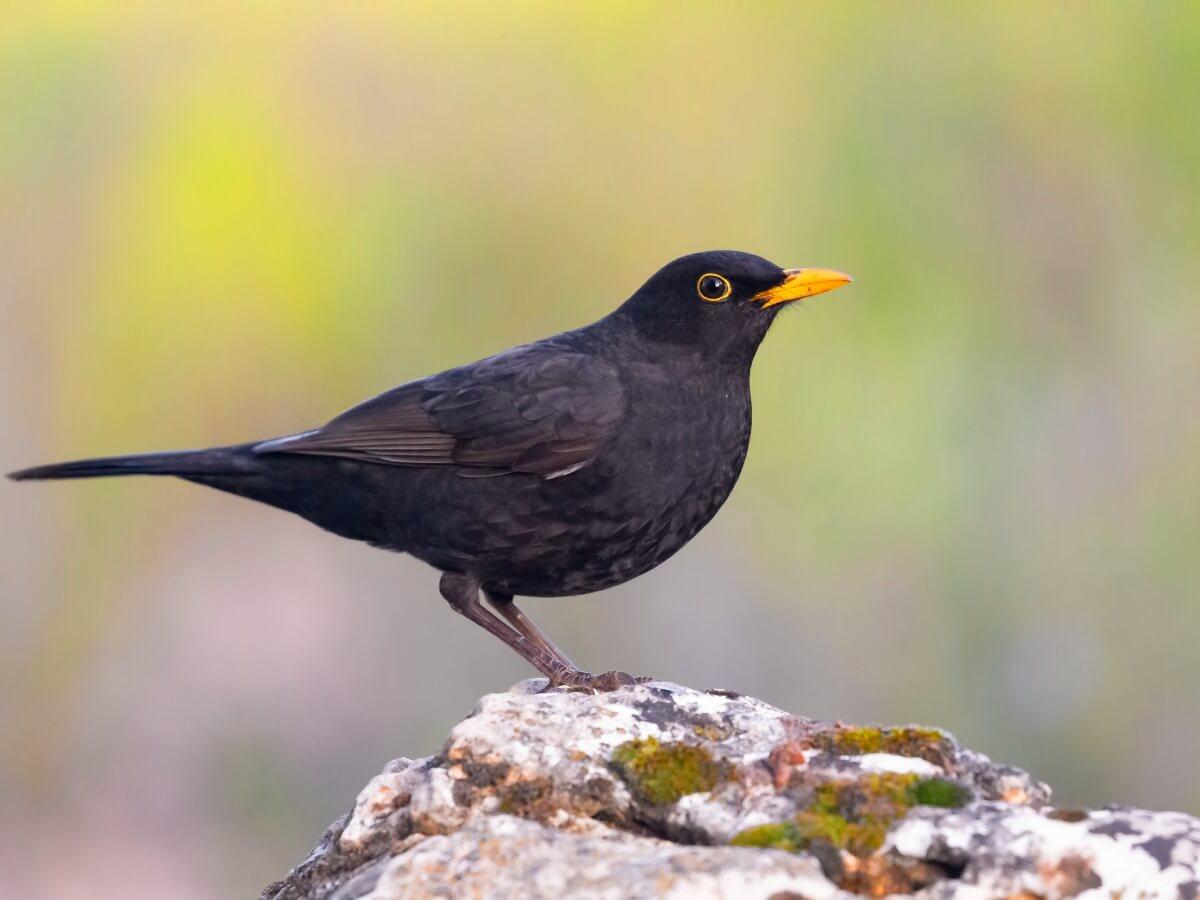 Uno degli uccelli che cantano di notte.