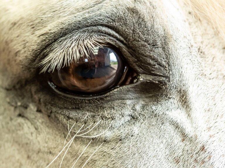 Glaucoma en caballos: causas, síntomas y tratamiento