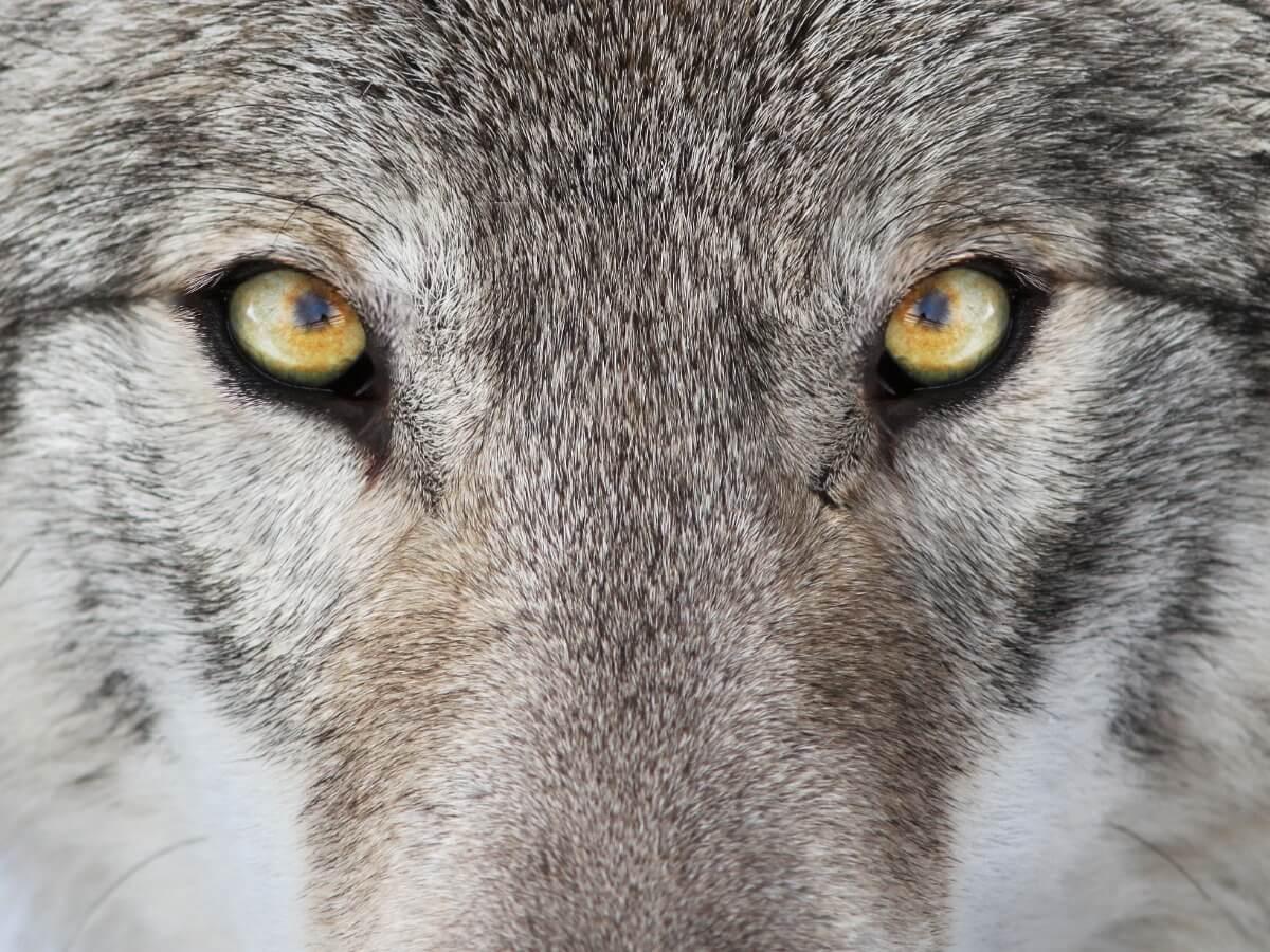 5 diferencias entre lobos y perros