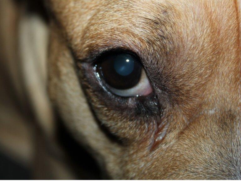 Mi perro tiene el ojo rojo e hinchado: 10 causas y tratamientos