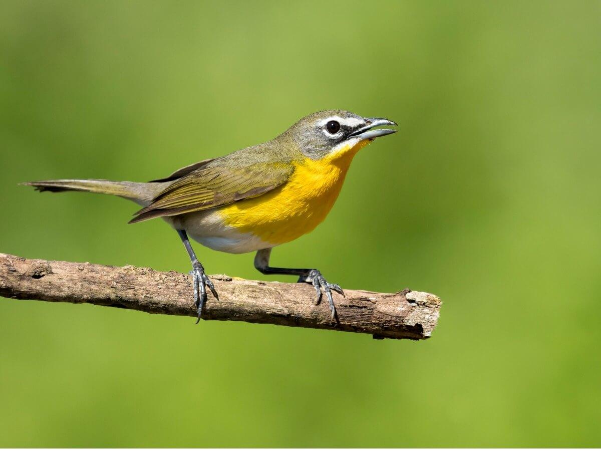 Uno de los pájaros que cantan por la noche.