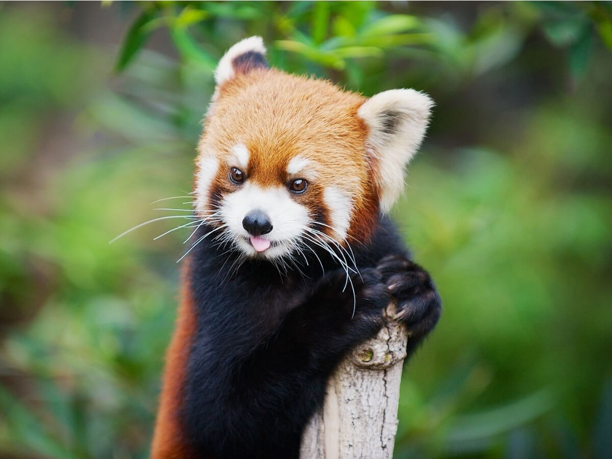 Las curiosidades del panda rojo son múltiples.