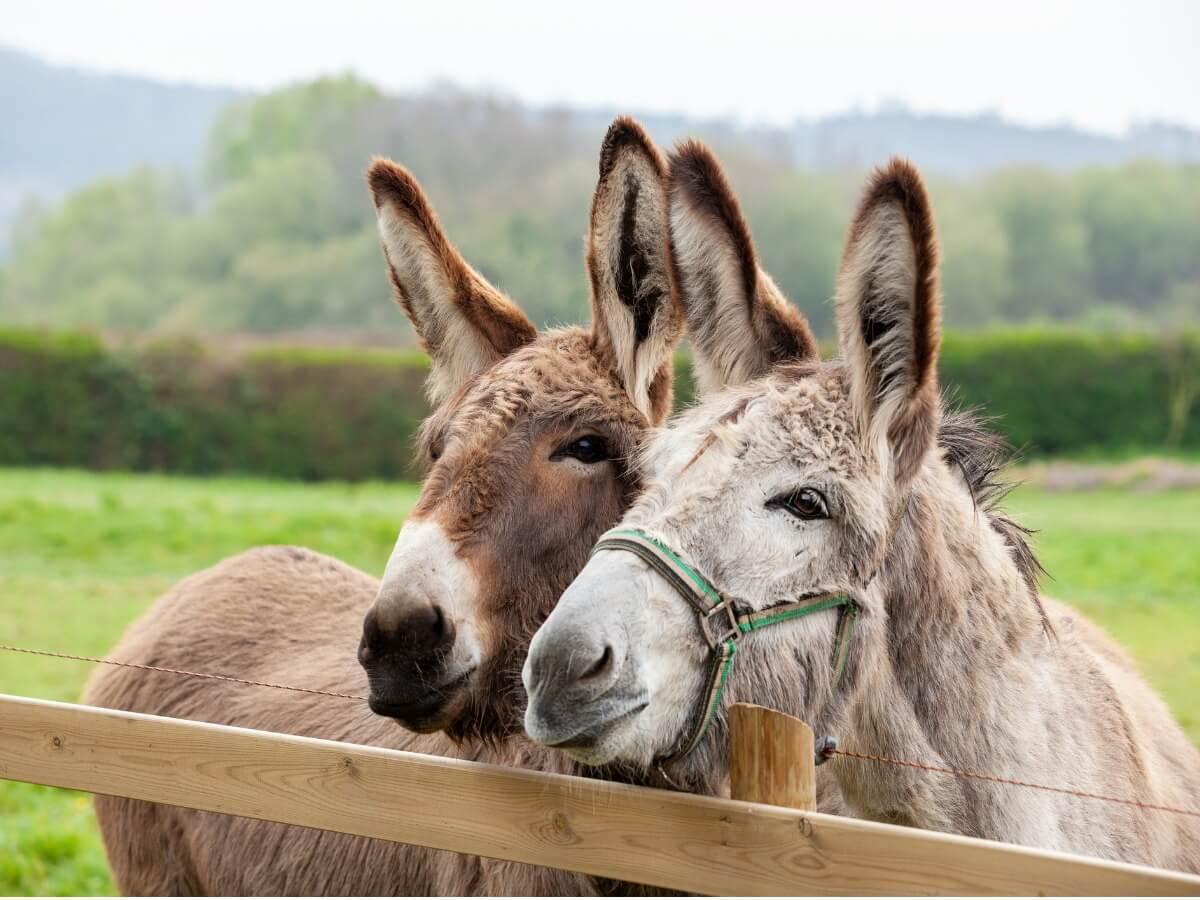 Un couple d'ânes.
