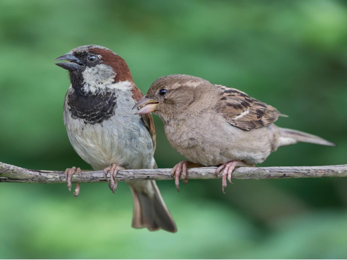 Una pareja de gorriones sobre una rama.