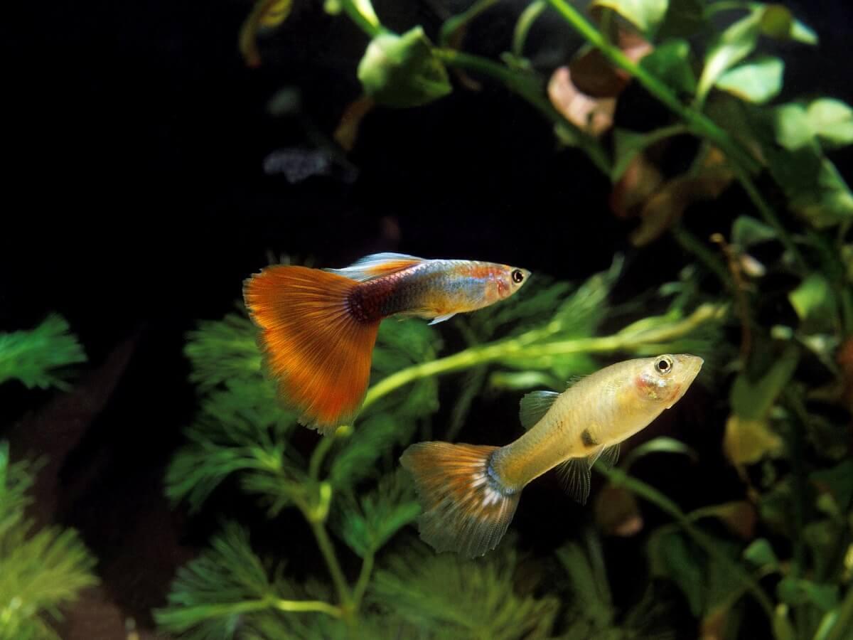 Alguns peixes guppy.