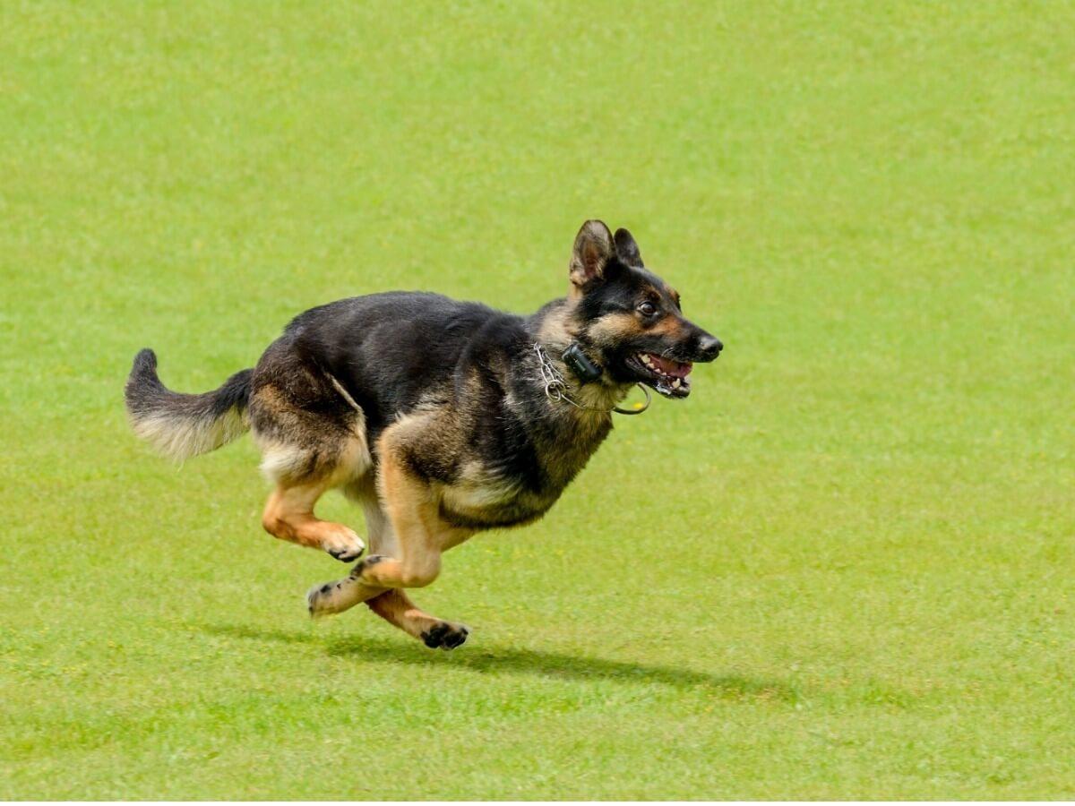 Un pastor belga que corre.