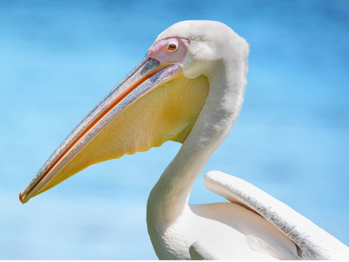 Dette er en af en slags pelikaner.